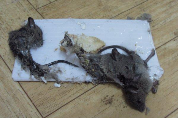 Клей для отлова крыс и мышей: обзор продукции