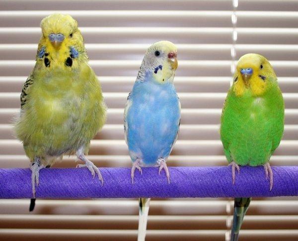 Как вывести блох у попугаев