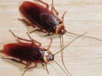 Способы избавиться от тараканов народными средствами