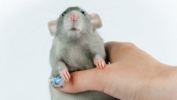Болезни от мышей к человеку