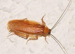 Кусаются ли домашние тараканы и каковы могут быть последствия?