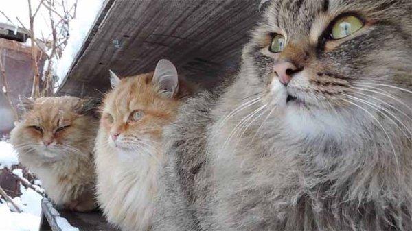 Наносим кошке средство от блох правильно