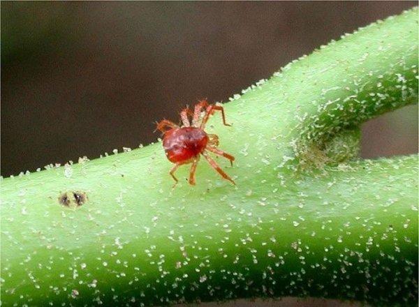 Что делать, если на домашних растениях и цветах завелся паутинный клещ