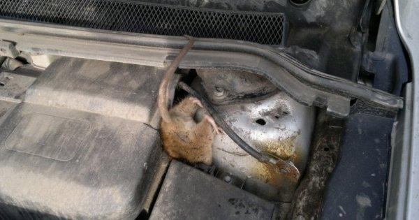 Что делать если в машине завелась мышь