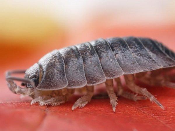 Мокрицы – описание образа жизни, внешний вид, особенности размножения и питания, фото